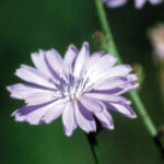chicory-bach centre
